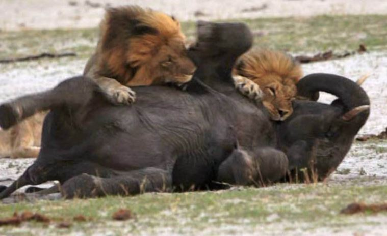 Lions Killing Elephant