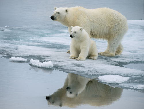 climate change has not impacted polar bears